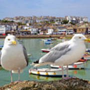 Seagulls In St Ives Harbour Cornwall Poster