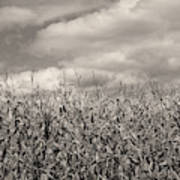 Sepia Field Of Corn Poster