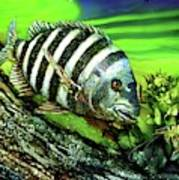 Sheepshead Lunch Poster