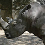 Side Profile Of A Large Rhinoceros With Two Horns  Poster