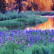 Silvery Lupine Poster