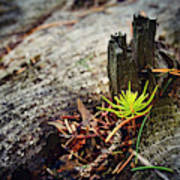Small Spruce Growing On An Old Tree Stump Poster