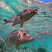 Snapper On Ningaloo Reef, Australia Poster