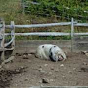 Snoozing Hog Poster