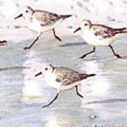 Snowy Plover Sandpipers On Siesta Key Beach, Wide-narrow Poster