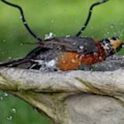 Splish-splash I Was Taking A Bath - American Robin Poster
