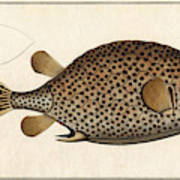 Spotted Trunk Fish  Poster