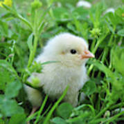 Spring Chick Poster