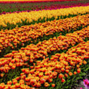 Stunning Rows Of Colorful Tulips Poster