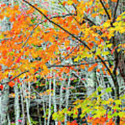 Sugar Maple Acer Saccharum In Autumn Poster