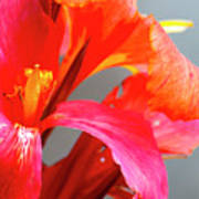 Summer Lilly Pink Poster