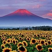 Sunflower And Red Fuji Poster