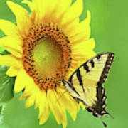 Sunflower And Swallowtail Poster