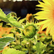 Sunflower Bloom Poster