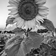 Sunflowers 10 Poster