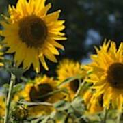Sweet Sunflowers Poster