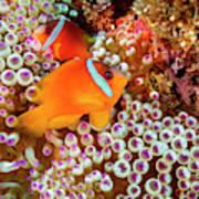 The Fiji Clownfish  Amphiprion Barberi Poster