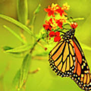 The Monarch Butterfly Poster