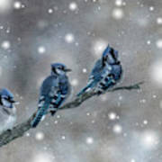 Three Blue Jays In The Snow Poster