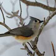 Titmouse Winter Morning Cutie  Poster