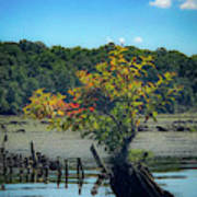 Tree In Mallows Bay Poster