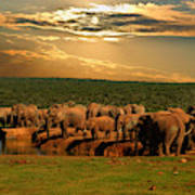 Troop, Herd Of Elephant, Loxodonta Poster
