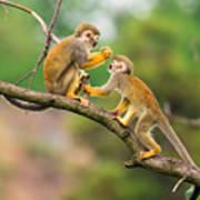 Two Common Squirrel Monkeys Saimiri Poster