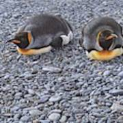Two King Penguins By Alan M Hunt Poster