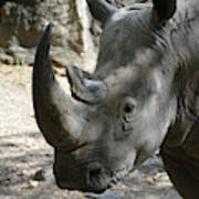 Up Close Look At The Face Of A Rhinoceros Poster