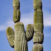 Upward View Of Saguaro Cactus And Blue Poster