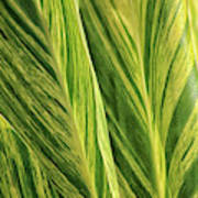 Variegated Shell Ginger Poster