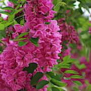 Vin Rouge Flowers on Locust Tree in Rain Poster