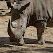 Walking Rhino With One Large Horn And One Small Horn Poster