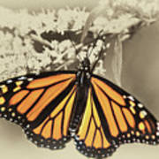 Wandering Migrant Butterfly Poster