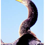 Water Turkey, Anhinga, Animal Portrait Poster