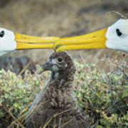 Waved Albatrosses Billing Near Chick Poster