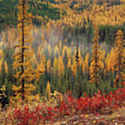 Western Larch Forest Autumn Poster