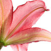 Wet Pink Lily From Below Against White Poster