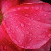 Wet Rose Petal Poster