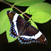 White Admiral Butterfly Poster