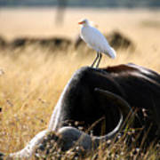 White Cattle Egret Hitching A Ride On Poster