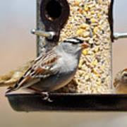 White-crowned Sparrow, Zonotrichia Poster