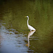 White Egret In Water Poster
