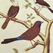 White Headed Munia, Double Coloured Seed Eater And Violet Eared Waxbill Poster