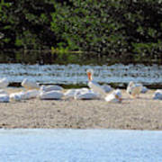 White Pelican Rest Poster