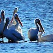 White Pelicans In Blue  Poster