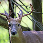 White Tailed Buck Portrait I Poster