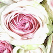 Wild Pink Roses Poster