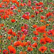 Wild Poppies, Val Dorcia, Pienza Poster