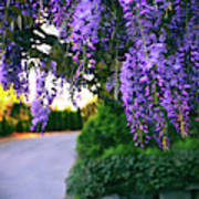 Wisteria At Sunset Poster